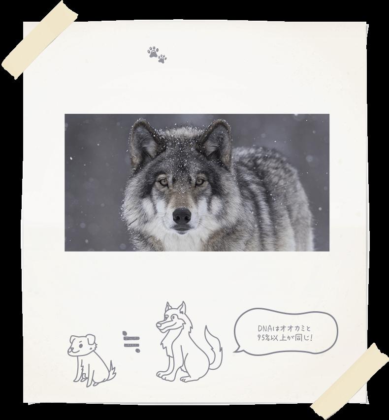犬の祖先はオオカミとする説が一般的ですが、実はどのようにしてイエイヌ化したかについては諸説あり、正確にはよく分かっていません。 そもそも犬は、人と暮らしはじめた最も古い動物であるとも言われており、その起源は1万5千年以上前にもさかのぼります。